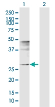 H00008061-D01P - Fos-related antigen 1