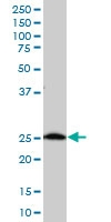 H00008209-A01 - ES1 protein homolog