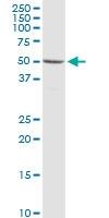 H00008224-D01P - Synapsin-3