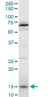 H00008351-A01 - Histone H3.1