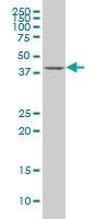 H00008528-A01 - D-aspartate oxidase