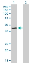 H00008564-B01P - Kynurenine 3-monooxygenase / KMO