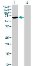 H00008629-B01P - Jerky protein homolog