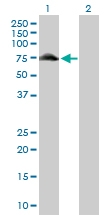 H00008908-D01P - Glycogenin-2 (GYG2)