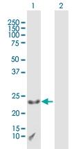 H00008933-B01P - CAAX box protein 1