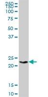 H00008971-B01P - Histone H1x / H1FX