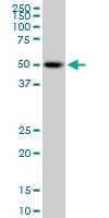 H00009051-M02 - PSTPIP1 / CD2BP1