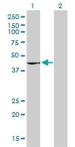 H00009265-M01 - Cytohesin 3