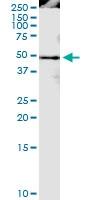 H00009360-D01 - Cyclophilin G / PPIG