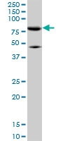 H00009927-M01 - Mitofusin-2