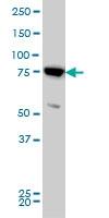 H00009927-M03 - Mitofusin-2