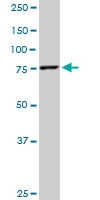 H00009927-M07 - Mitofusin-2