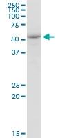 H00009941-M02 - Nuclease EXOG