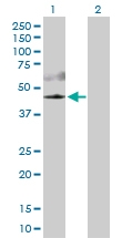 H00010000-D01P - AKT3 / PKB gamma