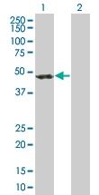 H00010120-B01 - Centractin beta
