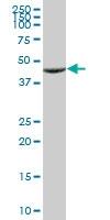 H00010121-B01 - Centractin alpha