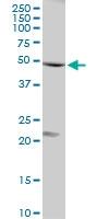 H00010211-D01P - Flotillin-1 / FLOT1