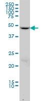H00010540-M01 - Dynactin subunit 2