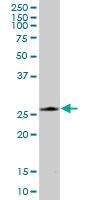 H00010549-B01P - Peroxiredoxin-4 / PRDX4