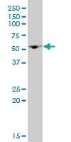 H00010675-A01 - Neuroglycan C