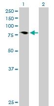 H00010767-B01P - HBS1-like protein