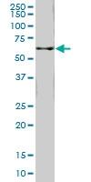 H00010841-M02 - 58K Golgi Protein
