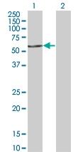 H00010922-M02 - FAST kinase