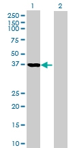 H00011080-B01 - DNAJB4 / HSP40 homolog