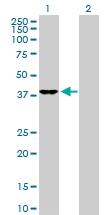 H00011080-D01P - DNAJB4 / HSP40 homolog