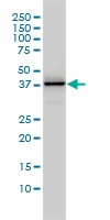 H00011080-M01 - DNAJB4 / HSP40 homolog