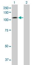 H00022871-B01P - Neuroligin 1