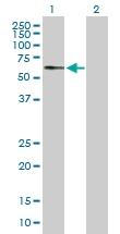 H00022901-B01P - Arylsulfatase G