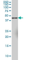 H00023208-M03 - Synaptotagmin-11