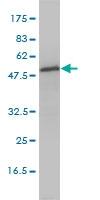 H00023549-M01 - Aspartyl aminopeptidase