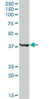 H00023609-B01P - MKRN2 / RNF62