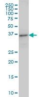 H00023647-M01 - Arfaptin-2