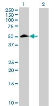 H00023671-B01 - Tomoregulin-2 / TMEFF2