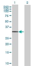 H00023673-B01 - Syntaxin 12 / STX12