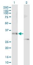 H00023673-B01P - Syntaxin 12 / STX12