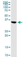 H00023780-B01P - Apolipoprotein L2 / APOL2