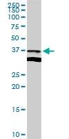 H00023780-D01 - Apolipoprotein L2 / APOL2