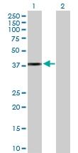 H00023780-D01P - Apolipoprotein L2 / APOL2