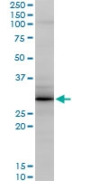 H00025801-M04 - Grancalcin