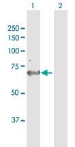 H00026289-B01P - Adenylate kinase 5 / AK5