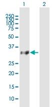 H00026493-B01P - Olfactory receptor 8B8