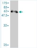 H00027111-M01 - Syntenin-2 / SDCBP2