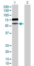 H00029760-D01P - B-cell linker protein / BLNK