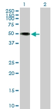 H00050863-B01P - Neurotrimin