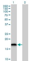 H00051022-B01P - Glutaredoxin-2 / GLRX2