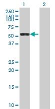 H00051056-A01 - Cytosol aminopeptidase